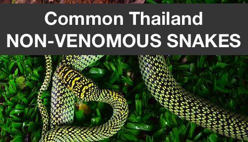 Common Thailand non-venomous snakes category.