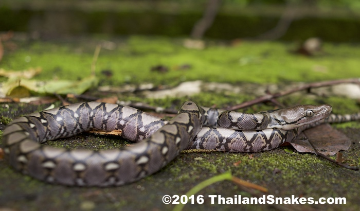 Juvenile Reticulated Python has the potential to become the largest (longest) snake in the entire world.