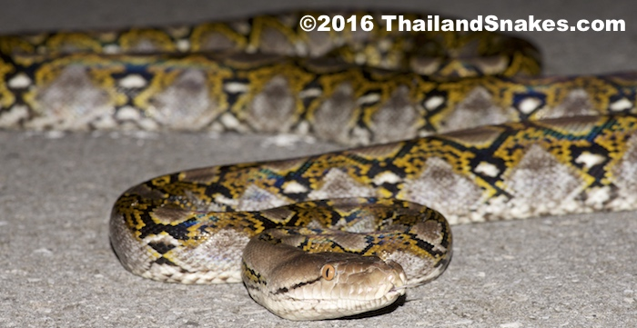 An adult Reticulated Python around 3-4 meters long (over 12 feet) - it can continue to grow to more than 8-9 meters long.