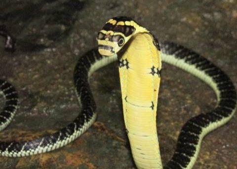 Juvenile king cobra (Ophiophagus hannah), already capable of deadly bites.