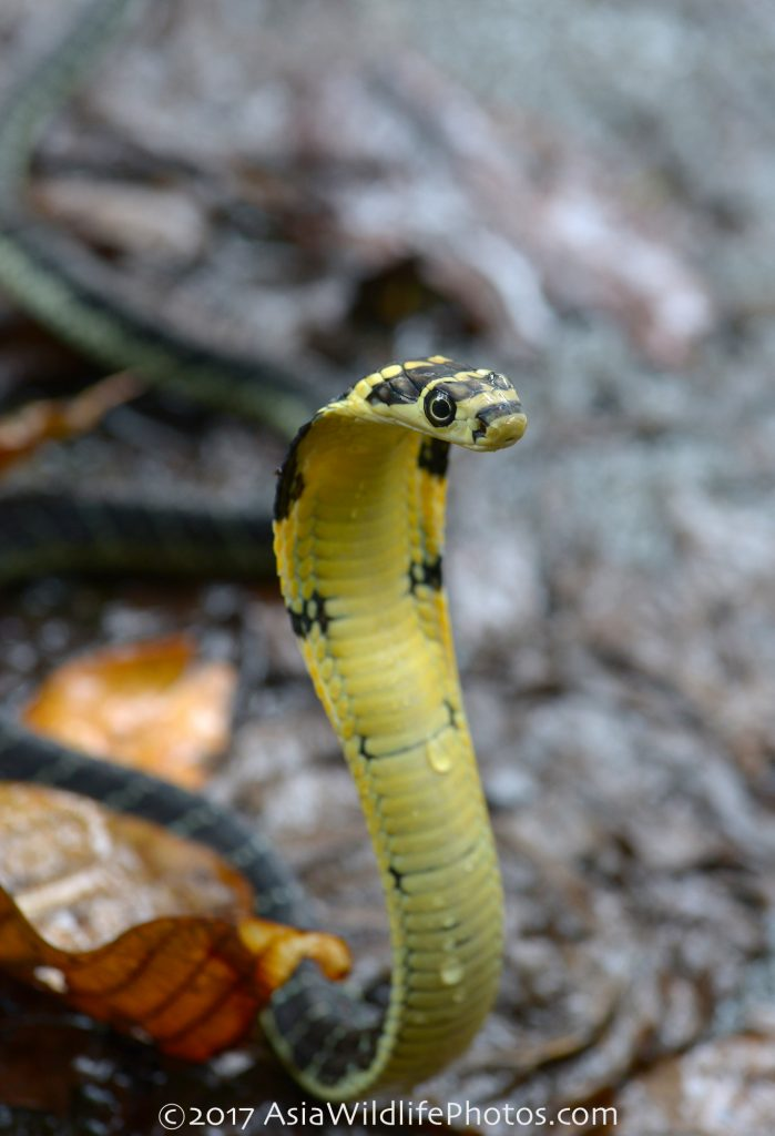 Juvenile king cobra in Thailand and all over Southeast Asia.