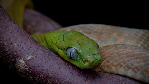 Green cat snake resting. Thailand.