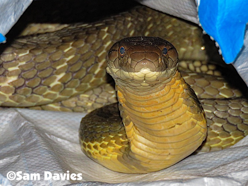 A rescued king cobra from Ao Nang, Krabi, Thailand.